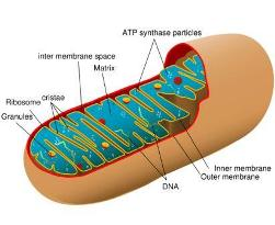 070508 mitochon.jpg